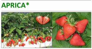 sort Aprica - sunytsia sadova - strawberry - polunytsia - klubnika