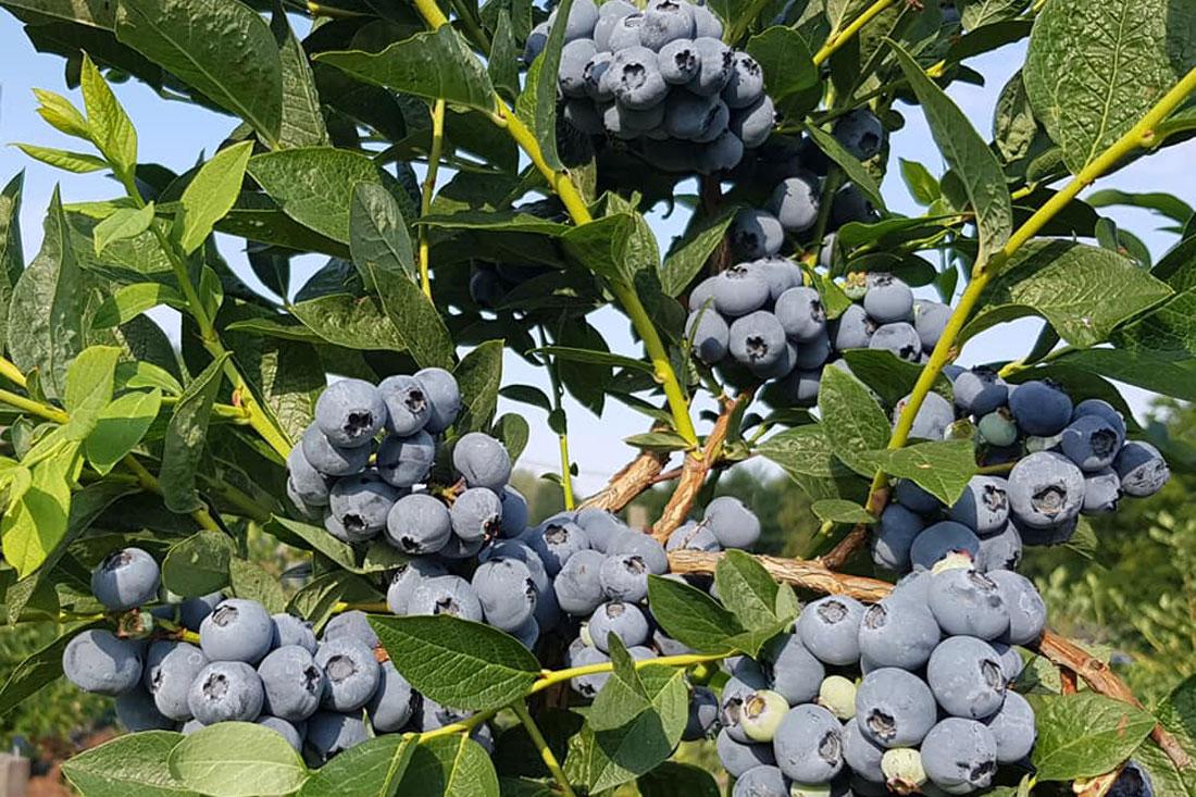 bluegold-blugold-chornycia-lohina-golubika-sadzhanci-in-vitro-kupit-sort-sazhenci