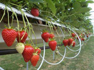 Мурано (Murano) - саджанці суниці садової. Ремонтантний сорт.