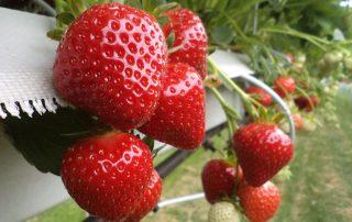 Суниця садова - сорт Клері - купити саджанці