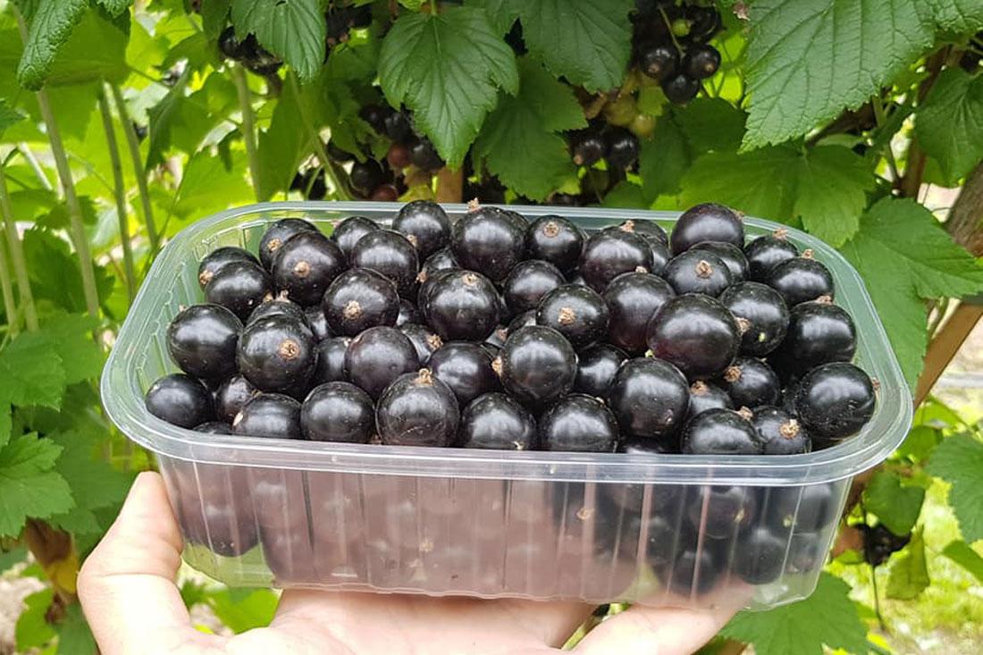 Саженцы - смородина черная - купить сорт Черный десерт
