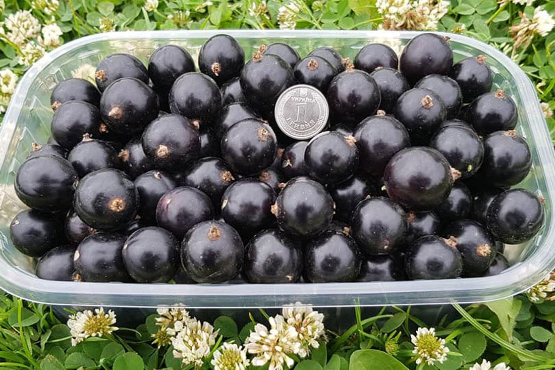 Саджанці - чорна смородина - купити - сорт Чорний Десерт