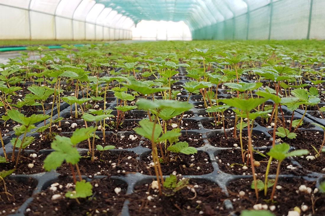 zemlianika-alpiyskaya-sazhenci-kupit-rozsada-usi-semena