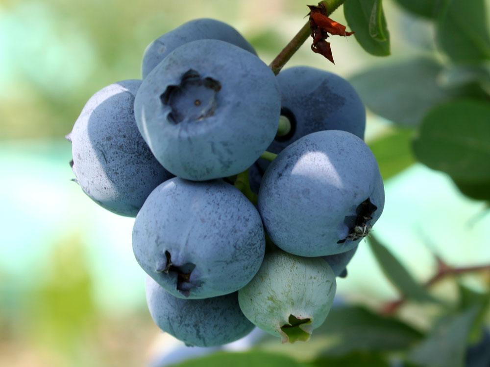 bluecrop-blukrop-chornycia-lohina-golubika-sadzhanci-in-vitro-kupit-sort-sazhenci