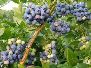 denis-blu-chornycia-lohina-golubika-sadzhanci-in-vitro-kupit-sazhenci-sort-denise-blue
