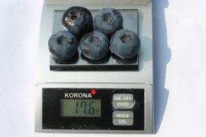 patriot-chornycia-lohina-golubika-sadzhanci-in-vitro-kupit-sort-sazhenci