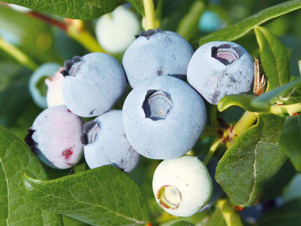 Чантиклер чорниця / лохина / голубика - купити саджанці розсаду ін-вітро сорт Chanticleer