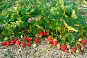 Алба суниця садова/полуниця/клубника - купити саджанці, розсада фріго сорт NF311 Alba