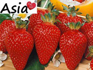 Азія суниця садова/полуниця/клубника - купити саджанці, розсада фріго сорт NF421 Asia