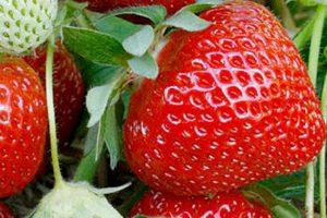 Фенелла суниця садова/полуниця/клубника - купити саджанці, розсада фріго сорт Fenella