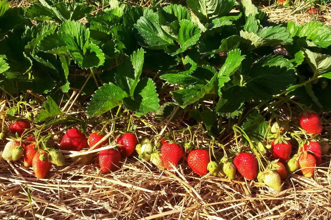 Роксана суниця садова/полуниця/клубника - купити саджанці, розсада фріго сорт NF 205 Roxana