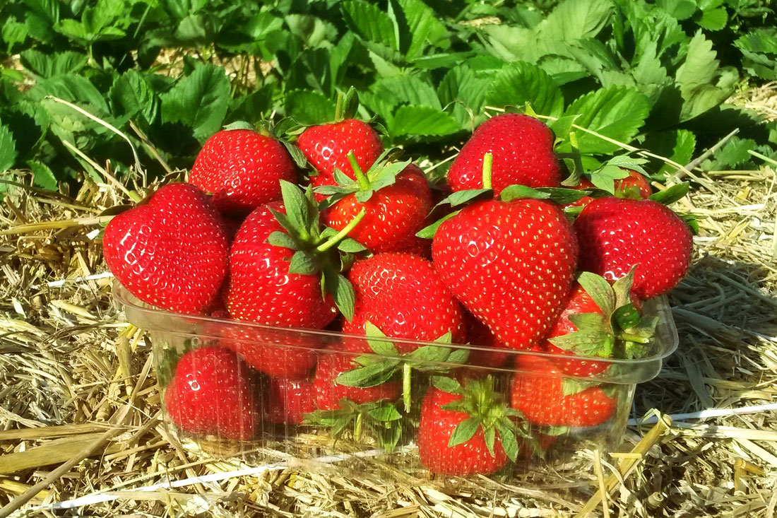 Вайбрант - земляника садовая/клубника - купить саженцы фриго, сорт Vibrant