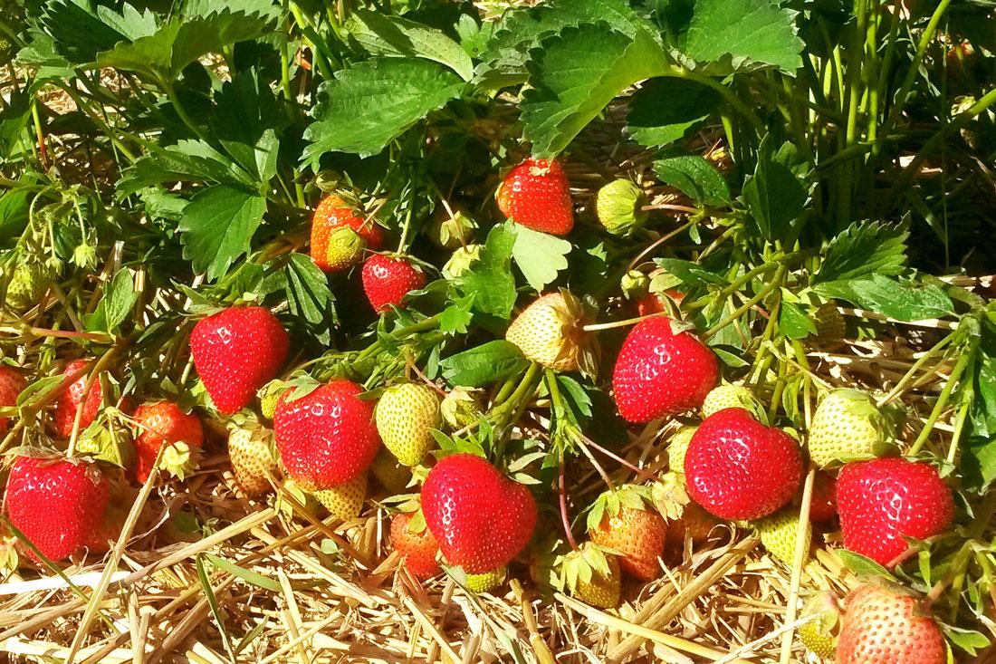 Вайбрант суниця садова/полуниця/клубника - купити саджанці, розсада фріго сорт Vibrant