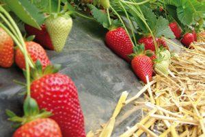 Брілла суниця садова/полуниця/клубника - купити саджанці, розсада фріго сорт Brilla