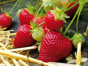 Гарда суниця садова/полуниця/клубника - купити саджанці, розсада фріго сорт Garda